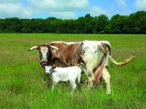 longhorn and calf 2013 (2)