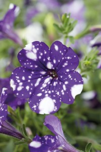 Petunia-NightSky-close-up-RGB-Color-Mode